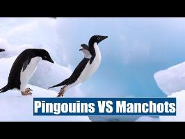 Pingouins VS Manchots - IRL