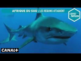 Afrique du Sud : les requins attaquent - L'Effet Papillon