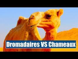 Dromadaires VS Chameaux - IRL