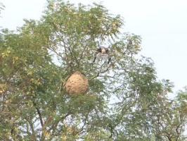 Un drone pour détruire les nids de frelons